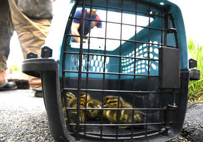 firefighters-animal-control-officer-rescue-ducklings-in-bristol