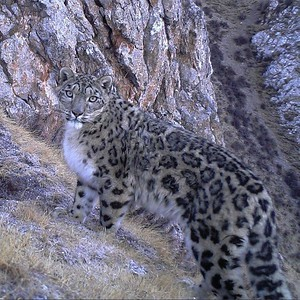 five-churches-brewing-in-new-britain-is-hosting-a-fundraiser-to-benefit-snow-leopards