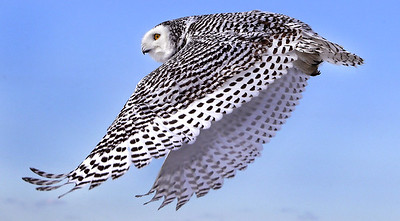 snowy-owl-migration-gives-scientists-chance-to-study-them