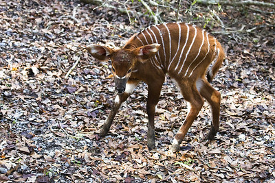 baby-bongo-born-more-likely-soon-at-species-survival-center