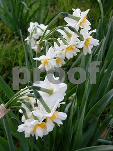 blooming-of-narcissus-is-symbolic-of-coming-southern-spring