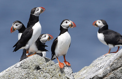 beaked-baby-boomers-record-year-for-puffin-chicks-in-maine