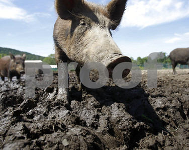 feral-hog-poison-field-tests-in-texas-alabama-in-2018